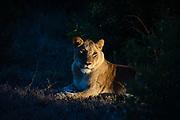 A lioness, Panthera leo, by night.