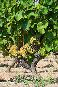 Bunches of grapes on grape vine Sauternes,France on the estate of Chateau de Malle