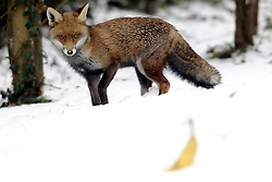 © under license to London News Pictures. NO ONLINE USE UNTIL 23 DECEMBER 2010. Picture date 2010.12. 21. A cheeky fox eats a banana and a mice pie left in the snow in Stone near Dartford,Kent. Picture credit should read Grant Falvey/London News Pictures.