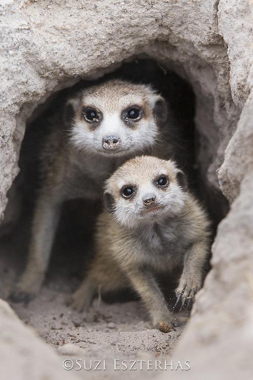 Meerkat<br /> Suricata suricatta<br /> Adult and six-week-old pup<br /> Makgadikgadi Pans, Botswana