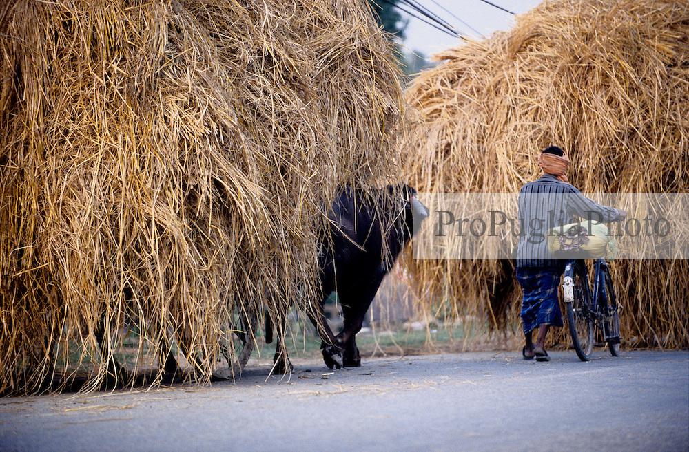 Nepalganj, 24 February 2005.  In the Terai regions, buffalos are still the most important method of moving cargo