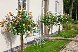 Standard roses by house - Rosa 'Lady of Shalott' syn. 'Ausnyson' and Rosa 'Gentle Hermione' syn. 'Ausrumba'