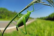 Bush cricket (Isophya kraussii); Weinsberg, Baden-Württemberg, Germany | Gemeine Plumpschrecke (Isophya kraussii); Weinsberg, Baden-Württemberg, Deutschland