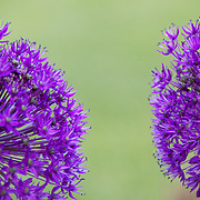 Two purple allium flowers. Photo by Adel B. Korkor.