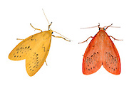 72.035 (2037)<br /> Rosy Footman - Miltochrista miniata<br /> left=unusual form<br /> right=typical form