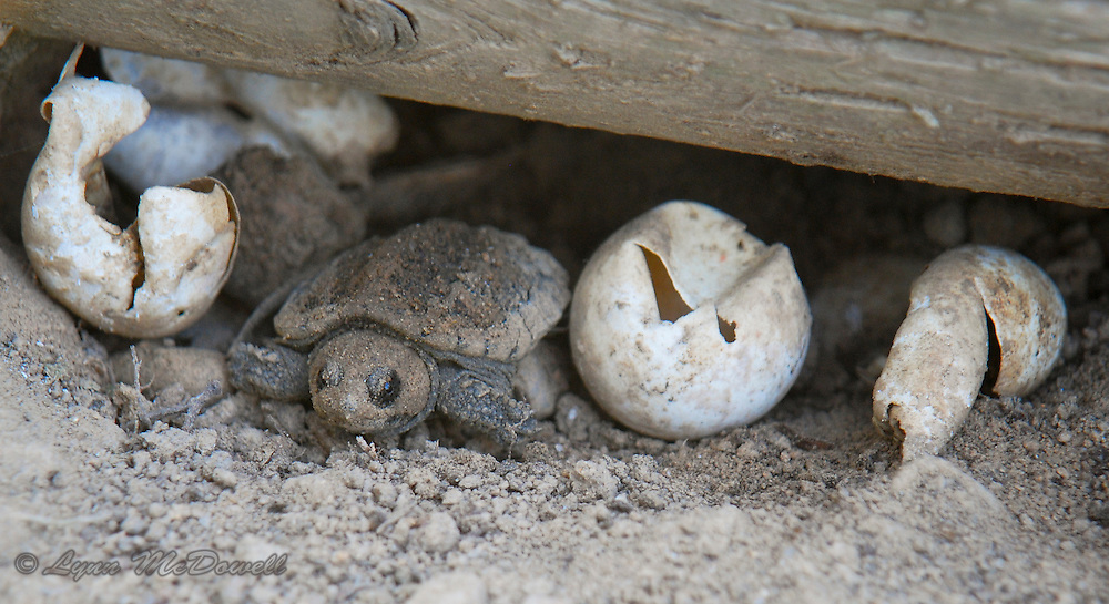 First Look - Newly hatched Snapping Turtle just leaving the nest.