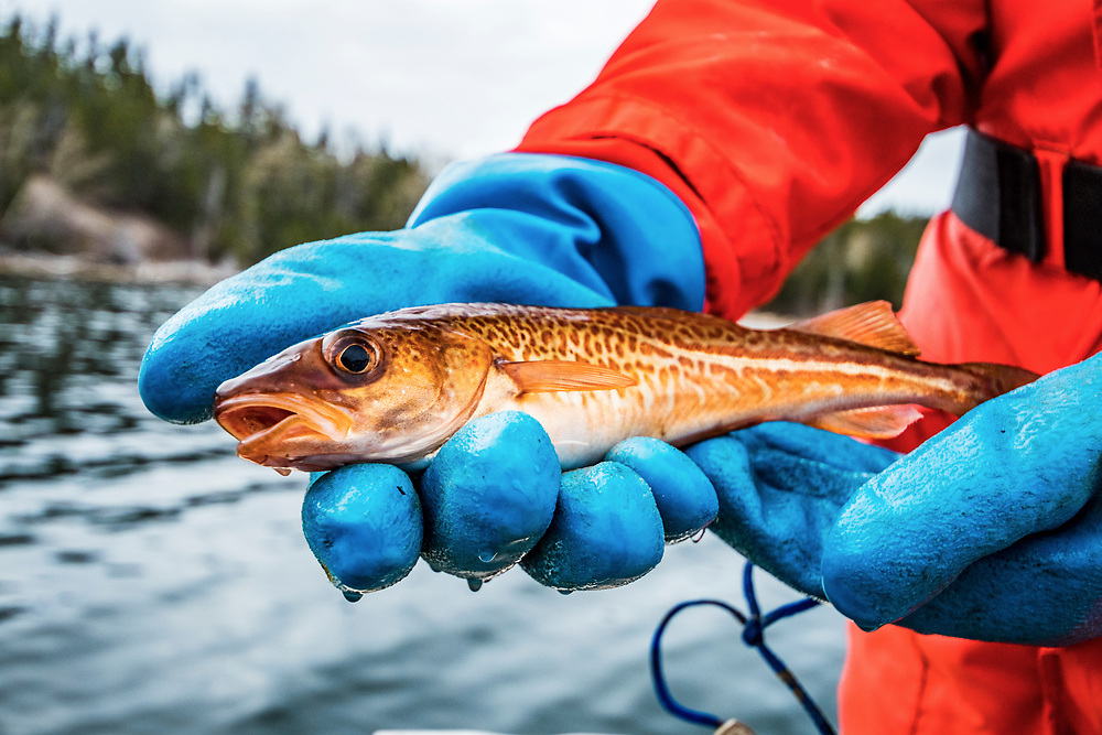 A biologist with the Department of Fisheries and Oceans Canada releases an Atlantic cod after tagging.
