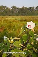 63899-05403 Rose Mallow (Hibiscus lasiocarpos)) in wetland, Marion Co., IL