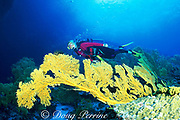diver and sea fans, Subergorgia mollis, <br /> at Sea Fans dive site, Tu'ungasika Island,<br /> Vava'u, Tonga, South Pacific  MR 273