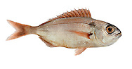 Blackspot Sea-bream Pagellus bogaraveo Length to60cm Deep-bodied fish with a blunt head. Typically reddish overall with black spot at base of pectoral fin. Occasional in S. Young venture into estuary mouths.