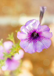A Purple Petunia Pops From The Morning Garden Light