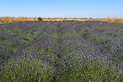 endless flowering Lavender fields. Photographed in the Golan Heights, Israel