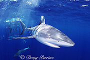 Galapagos sharks, Carcharhinus galapagensis, surround viewing cage, North Shore, Oahu, Hawaii, USA ( Central Pacific Ocean )