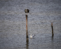 Osprey on a post. Biolab Road, Merritt Island National Wildlife Refuge. Image taken with a Nikon Df camera and 300 mm f/4  lens (ISO 250, 300 mm, f/5.6, 1/1250 sec).