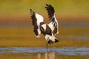 Spur-winged plover (or lapwing, Vanellus spinosus) flapping its wings. This bird inhabits wetlands and coastal areas in northern Africa and the eastern Mediterranean region. It feeds on small invertebrates. Photographed in Israel, June