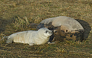 Grey Seal female with pup, Halichoerus grypus, Donna Nook National Nature Reserve, Lincolnshire, UK,