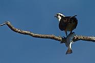 Osprey with Redfish