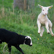 Nederland Barendrecht 5 april 2009 20090405 Foto: David Rozing ..Jonge lammetjes spelen in de wei, lente, lenteweer.Little lambs playing in field in springtime..Foto: David Rozing