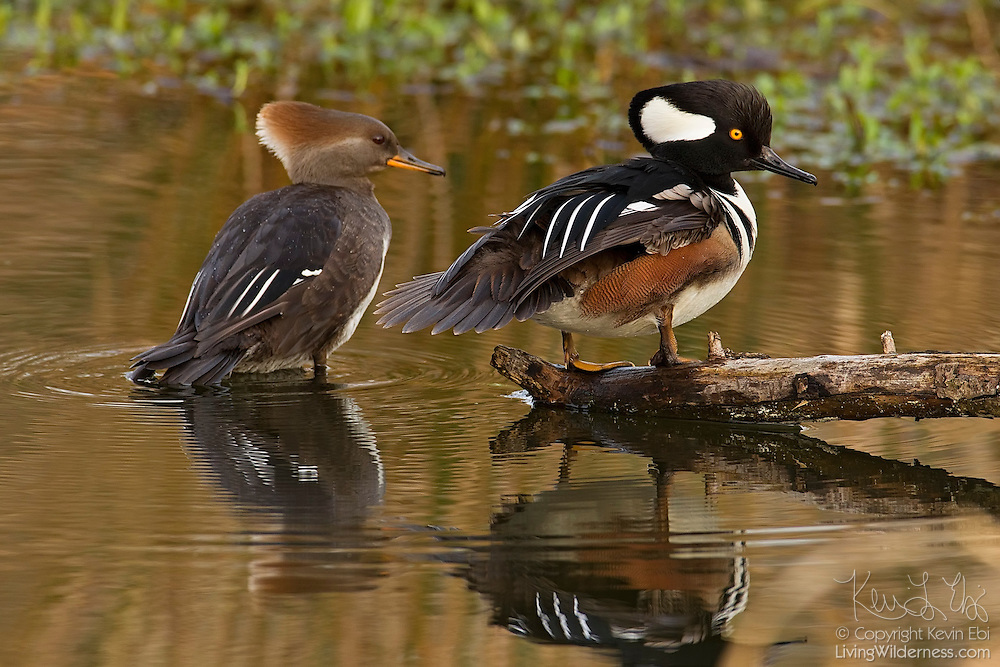 A breeding hooded merganser (Lophodytes cucullatus) pair rests in a Beaver Pond near Juanita Bay in Kirkland, Washington. The male is pictured on the right with his crest partially raised. The hooded merganser is a small duck that feeds on fish. It is frequently seen on shallow waters.