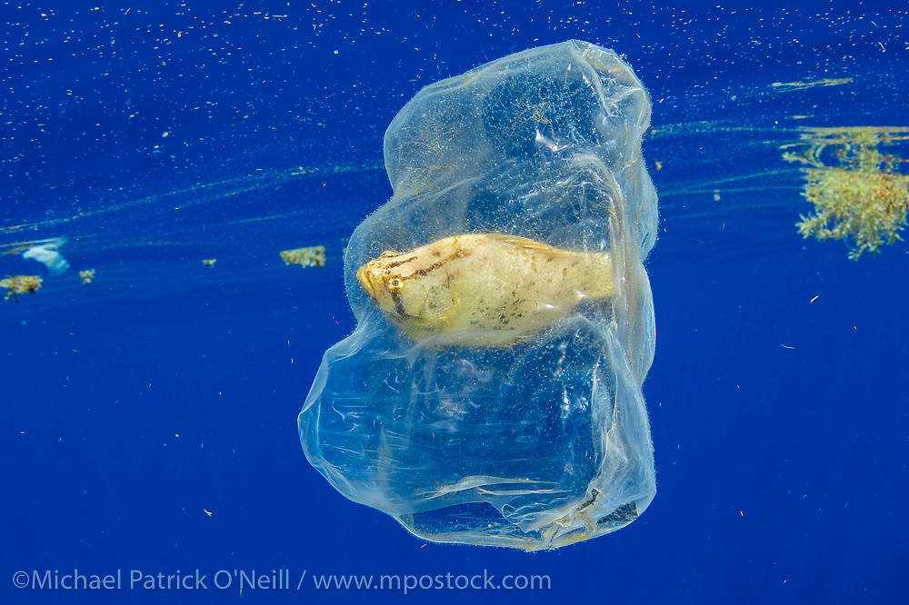 A young Atlantic Tripletail, Lobotes surinamensis, rides the Gulf Stream current offshore Jupiter, Florida inside discarded plastic packaging.