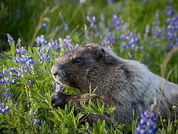 United States, Washington, Mt. Rainier National Park, marmot eating lupine