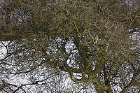 COMMON BUZZARD, RATONERO COMUN, BUSARDO RATONERO (Buteo buteo), Rhayader, Mid Wales, United Kingdom