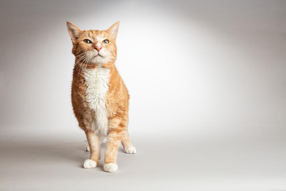Portrait of an old orange tabby cat