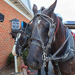 Two buggy horses - used to transport tourists, await their next trip in Intercourse, PA