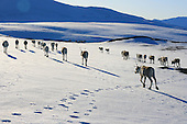 Reindeer spring migration Saanti Sijte
