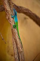 Simply gorgeous little blue green lizard on a tree branch.