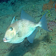 Gray Triggerfish inhabit reefs and areas of sand, rubble and seagrass in Tropical West Atlantic; picture taken Sarasota, FL.