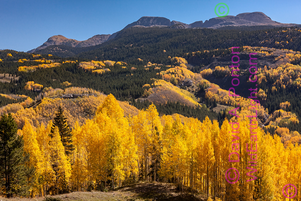 Bright golds of aspen stands dominate the autumn landscape of the San Juan Mountains in Colorado, © David A. Ponton