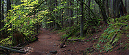 Vine Maple (Acer circinatum) trees hang over the Rolley Lake Trail at Rolley Lake Provincial Park in Mission, British Columbia, Canada.