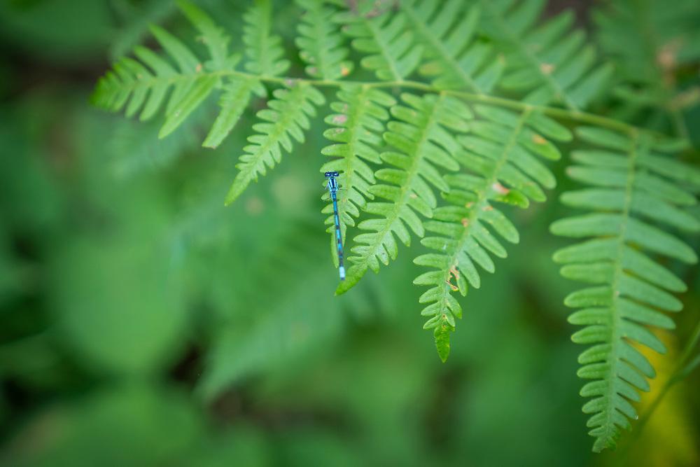 Detail of a blue damselfly on a fern at Perkins Park, Big Bay, Michigan.