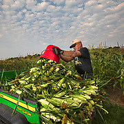 Norm Diehl piles his sweet corn on his utility vehicle after picking it by hand from his field in Springfield, Illinois. Diehl grows sweet corn that he sells at the road in front of his farm at harvest time. Nathan Lambrecht/Journal Communications