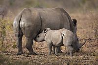 A baby white rhinoceros, Ceratotherium simum, nursing.