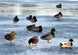 © under license to London News Pictures. 28/11/2010.  Ducks slip and slide on a frozen lake today (Sun) Chesham, Buckinghamshire. Photo credit should read: Stephen Simpson/LNP