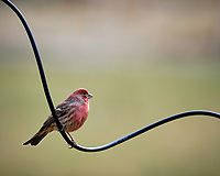 House Finch perched on a wire. Image taken with a Fuji X-T3 camera and 200 mm f/2 lens and 1.4x teleconverter (ISO 320, 280 mm, f/4, 1/500 sec).