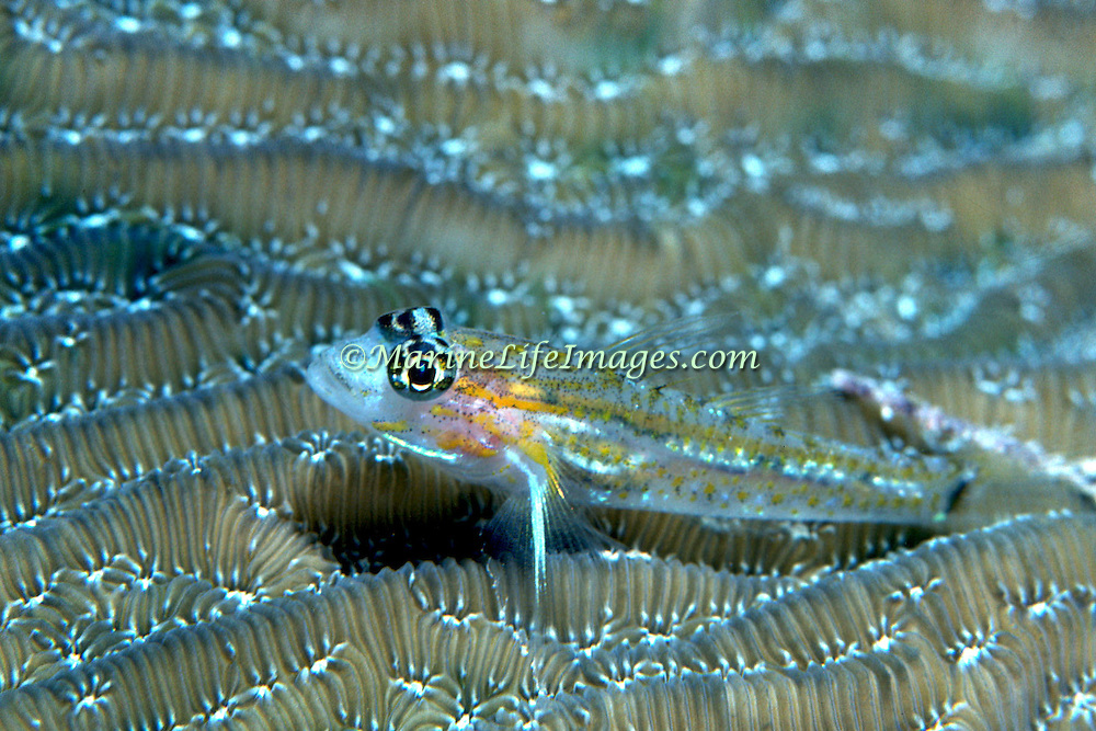 Pallid Goby inhabit sand chutes, also around coral reefs in sheltered locations in Tropical West Atlantic; picture taken Grand Cayman.