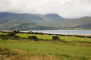 Sheep grazing on Dingle Peninsula, County Kerry, Ireland