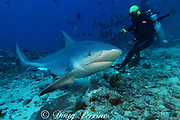 divemaster / shark feeder Rusi and male bull shark, or Zambezi shark, Carcharhinus leucas, at Shark Reef Marine Reserve, Beqa Passage, Viti Levu, Fiji ( South Pacific Ocean )