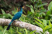 Great Blue Turaco (Corythaeola cristata)<br /> Dzebe Bai<br /> Odzala - Kokoua National Park<br /> Republic of Congo (Congo - Brazzaville)<br /> AFRICA