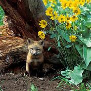 Red Fox, (Vulpus fulva) Kit at den entrance surrounded by Arrowleaf Balsamroot flowers.  Montana.  Captive Animal.