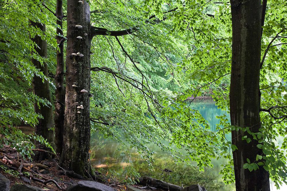 Buchenwald, Morske Oko Reservat, Ost-Slowakei / Beech forest, Morske Oko Reserve, East Slovakia