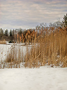 Seagrass in front of a frozen pond at Bruce Park in Greenwich, Connecticut.  Serene scene.