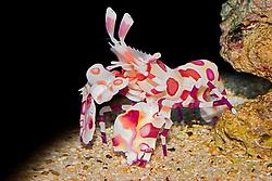 harlequin shrimp, Hymenocera picta, - preys on sea stars, Oahu, Hawaii, USA (c)
