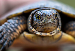 October 6, 2018 - Elkton, OREGON, U.S - A western pond turtle tucks its head in for safety after being discovered along the Umpqua River near Elkton in rural western Oregon. Western pond turtles are currently listed as endangered in Washington State. The Oregon Department of Fish and Wildlife considers it a sensitive species. The turtles can live to be as old as 70 years old, and don't reproduce until they are older than ten years. (Credit Image: © Robin Loznak/ZUMA Wire)