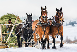 Getting western in western Wyoming.  Many ranchers in snow country still feed with a draft horse team, but the ones who feed with for horses are few, sleigh,