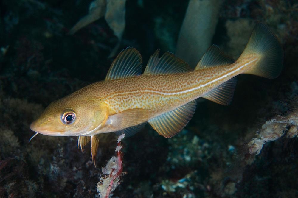 Cod, Gadus Morhua<br /> Atlantic marine life, Saltstraumen, Bodö, Norway