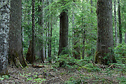 Silver firs and western hemlocks are shade tolerant and have become the dominant species in this forest.
